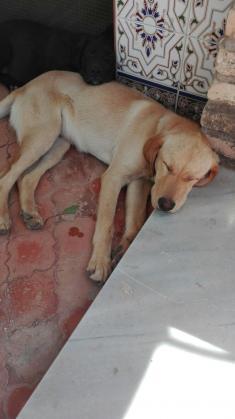 Maxcotea | Foto de Charly  - Perro, Raza: Labrador Retriever | Charly  | Maxcotea, Adopción de mascotas. Adopción de perros. Adopción de gatos.