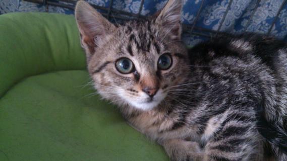 Maxcotea | Foto de Shuris - Gato, Raza: Gato común europeo | Maxcotea, Adopción de mascotas. Adopción de perros. Adopción de gatos.
