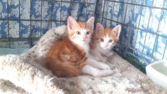 Maxcotea | Foto de Yoguin y Novor - Gato, Raza: Gato común europeo | Maxcotea, Adopción de mascotas. Adopción de perros. Adopción de gatos.
