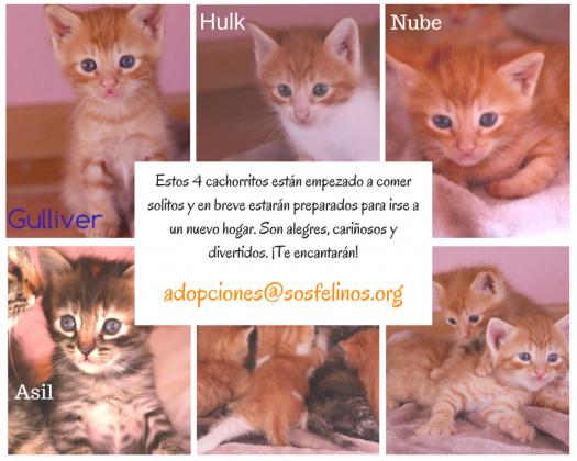 Maxcotea | Foto de Nube,Asil,Gulliver y Hulk - Gato, Raza: Gato común europeo | Maxcotea, Adopción de mascotas. Adopción de perros. Adopción de gatos.