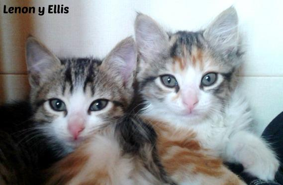 Maxcotea | Foto de Ellis y Lenon - Gato, Raza: Gato común europeo | Maxcotea, Adopción de mascotas. Adopción de perros. Adopción de gatos.