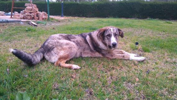 Maxcotea | Foto de Lily - Perro, Raza: Mastein | Maxcotea, Adopción de mascotas. Adopción de perros. Adopción de gatos.