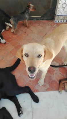 Maxcotea | Foto de Charly  - Perro, Raza: Labrador Retriever | Maxcotea, Adopción de mascotas. Adopción de perros. Adopción de gatos.
