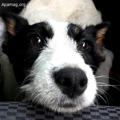 Maxcotea   Foto de Panda - Perro, Raza: Otro   Panda   Maxcotea, Adopción de mascotas. Adopción de perros. Adopción de gatos.