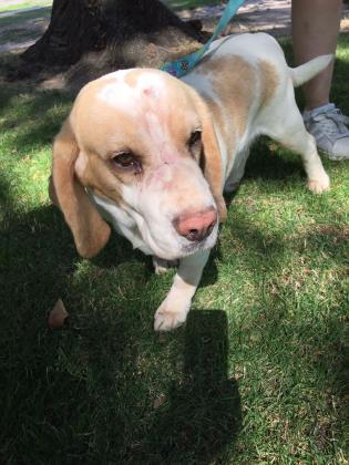 Maxcotea | Foto de Nova - Perro, Raza: Beagle | Maxcotea, Adopción de mascotas. Adopción de perros. Adopción de gatos.