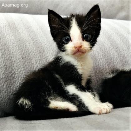 Maxcotea | Foto de Hydrus - Gato, Raza: Gato común europeo | Maxcotea, Adopción de mascotas. Adopción de perros. Adopción de gatos.