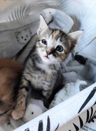 Maxcotea | Foto de Hermione - Gato, Raza: Gato común europeo | Maxcotea, Adopción de mascotas. Adopción de perros. Adopción de gatos.