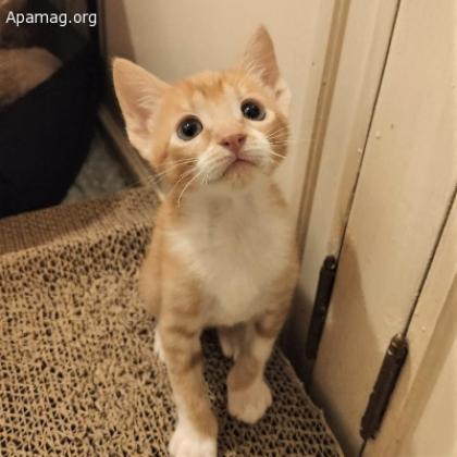 Maxcotea | Foto de Rohn - Gato, Raza: Gato común europeo | Maxcotea, Adopción de mascotas. Adopción de perros. Adopción de gatos.
