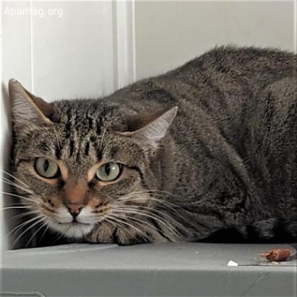 Maxcotea | Foto de Nica - Gato, Raza: Gato común europeo | Maxcotea, Adopción de mascotas. Adopción de perros. Adopción de gatos.