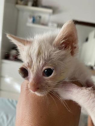Maxcotea | Foto de Anne - Gato, Raza: Gato común europeo | Maxcotea, Adopción de mascotas. Adopción de perros. Adopción de gatos.