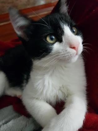 Maxcotea | Foto de Brock - Gato, Raza: Gato común europeo | Maxcotea, Adopción de mascotas. Adopción de perros. Adopción de gatos.