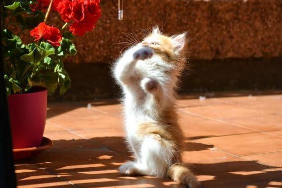 Maxcotea | Foto de Simbo - Gato, Raza: Gato común europeo | Maxcotea, Adopción de mascotas. Adopción de perros. Adopción de gatos.