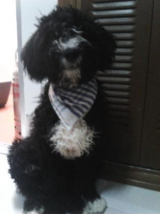 Maxcotea   Foto de Lucky - Perro, Raza: Perro De Agua Espanol   Maxcotea, Adopción de mascotas. Adopción de perros. Adopción de gatos.