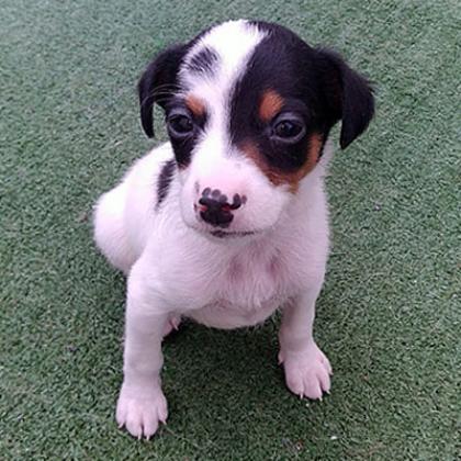 Maxcotea | Foto de Milo - Perro, Raza: Bodeguero Andaluz | Maxcotea, Adopción de mascotas. Adopción de perros. Adopción de gatos.