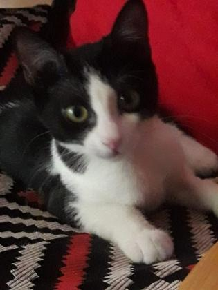 Maxcotea | Foto de LAZY nacimiento Mayo 2018 - Gato, Raza: Gato común europeo | LAZY nacimiento Mayo 2018 | Maxcotea, Adopción de mascotas. Adopción de perros. Adopción de gatos.