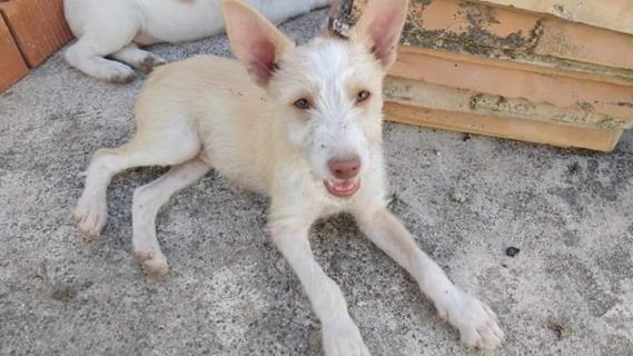 Maxcotea   Foto de Reggae - Perro, Raza: Podenco Portugues   Maxcotea, Adopción de mascotas. Adopción de perros. Adopción de gatos.