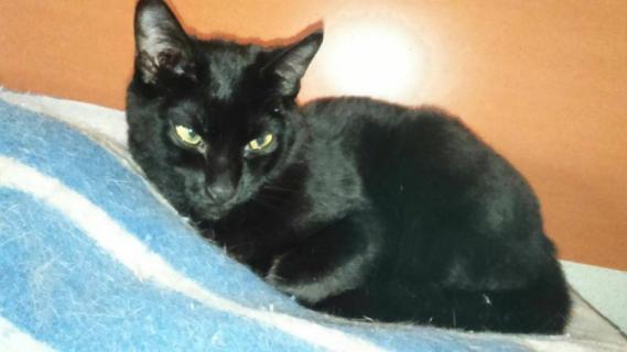 Maxcotea | Foto de Aramis - Gato, Raza: Bombay | Aramis | Maxcotea, Adopción de mascotas. Adopción de perros. Adopción de gatos.