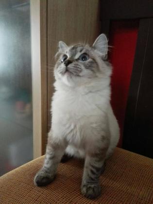 Maxcotea | Foto de Cascabel - Gato, Raza: Siames | Maxcotea, Adopción de mascotas. Adopción de perros. Adopción de gatos.