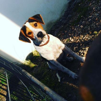 Maxcotea | Foto de Tobby - Perro, Raza: Beagle | Maxcotea, Adopción de mascotas. Adopción de perros. Adopción de gatos.