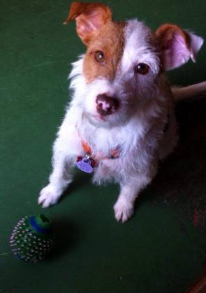 Maxcotea | Foto de Lakita - Perro, Raza: Jack Russell Terrier | Maxcotea, Adopción de mascotas. Adopción de perros. Adopción de gatos.