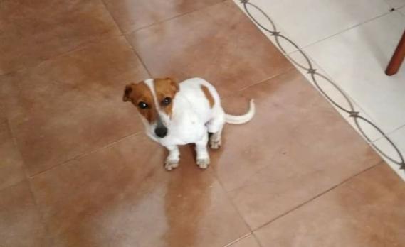 Maxcotea | Foto de SUGAR - Perro, Raza: Jack Russell Terrier | Maxcotea, Adopción de mascotas. Adopción de perros. Adopción de gatos.