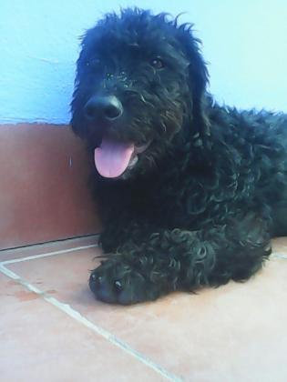 Maxcotea | Foto de Vari - Perro, Raza: Perro De Agua Espanol | Maxcotea, Adopción de mascotas. Adopción de perros. Adopción de gatos.