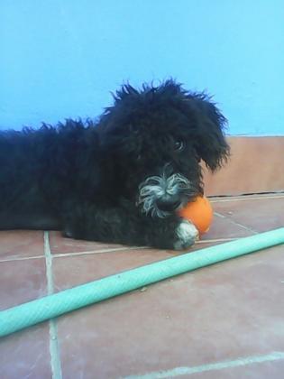 Maxcotea | Foto de Toro - Perro, Raza: Perro De Agua Espanol | Maxcotea, Adopción de mascotas. Adopción de perros. Adopción de gatos.