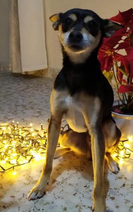Maxcotea | Foto de Nox - Perro, Raza: Chihuahua | Nox.. | Maxcotea, Adopción de mascotas. Adopción de perros. Adopción de gatos.
