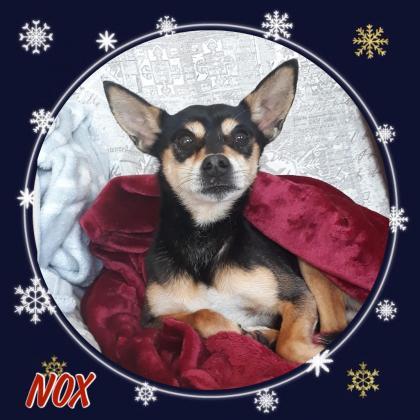 Maxcotea | Foto de Nox - Perro, Raza: Chihuahua | Maxcotea, Adopción de mascotas. Adopción de perros. Adopción de gatos.