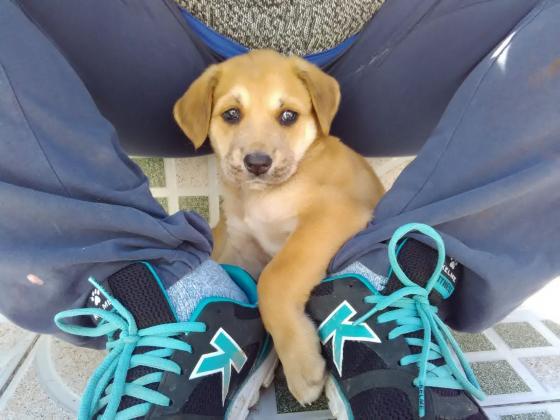 Maxcotea   Foto de Sansa - Perro, Raza: Labrador Retriever   Maxcotea, Adopción de mascotas. Adopción de perros. Adopción de gatos.