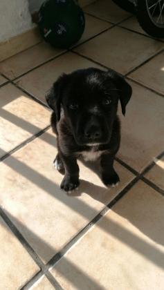 Maxcotea   Foto de Thor - Perro, Raza: Labrador Retriever   Maxcotea, Adopción de mascotas. Adopción de perros. Adopción de gatos.