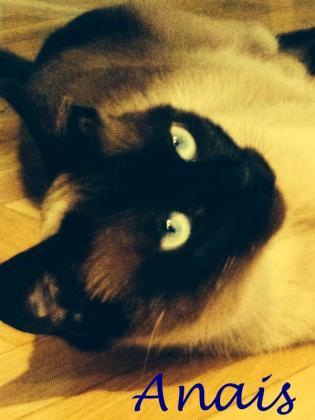 Maxcotea | Foto de Anaís - Gato, Raza: Siames | Maxcotea, Adopción de mascotas. Adopción de perros. Adopción de gatos.