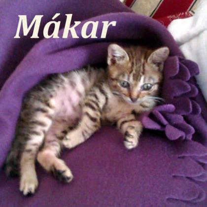 Maxcotea | Foto de Mákar - Gato, Raza: Gato común europeo | Maxcotea, Adopción de mascotas. Adopción de perros. Adopción de gatos.