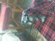 Maxcotea | Foto de alai - Perro, Raza: Schnauzer Miniatura | Maxcotea, Adopción de mascotas. Adopción de perros. Adopción de gatos.
