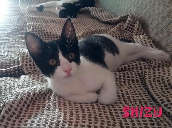 Maxcotea | Foto de Shizu EN ADOPCIÓN - Gato, Raza: Gato común europeo | Maxcotea, Adopción de mascotas. Adopción de perros. Adopción de gatos.