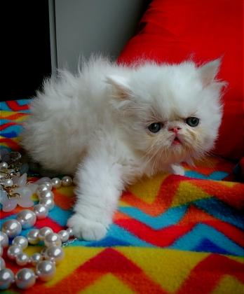 Maxcotea | Foto de jina - Gato, Raza: Persa | Maxcotea, Adopción de mascotas. Adopción de perros. Adopción de gatos.