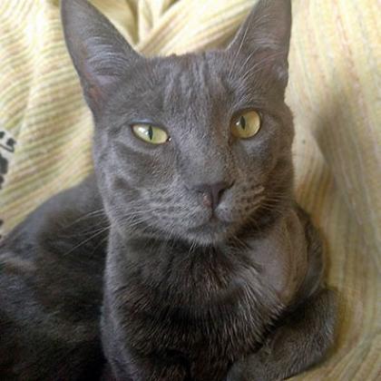 Maxcotea | Foto de Mr Mimous - Gato, Raza: Azul Ruso | Maxcotea, Adopción de mascotas. Adopción de perros. Adopción de gatos.