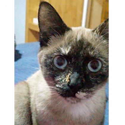 Maxcotea | Foto de Mia - Gato, Raza: Siames | Maxcotea, Adopción de mascotas. Adopción de perros. Adopción de gatos.