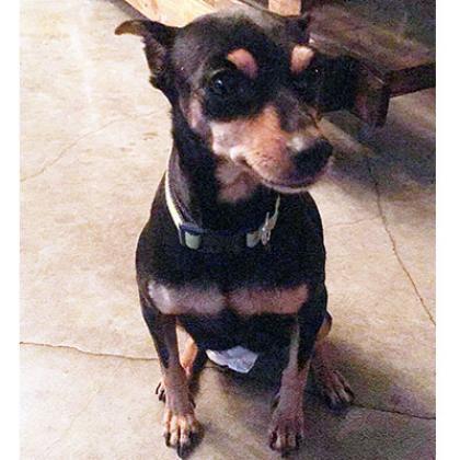 Maxcotea | Foto de Karma - Perro, Raza: Pinscher | Maxcotea, Adopción de mascotas. Adopción de perros. Adopción de gatos.