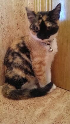 Maxcotea | Foto de Noa - Gato, Raza: Pelicorto Europeo | Maxcotea, Adopción de mascotas. Adopción de perros. Adopción de gatos.