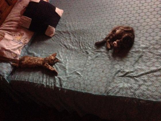 Maxcotea | Foto de Bella y nala - Gato, Raza: Abisinio | Maxcotea, Adopción de mascotas. Adopción de perros. Adopción de gatos.