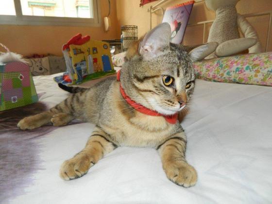 Maxcotea | Foto de Harold - Gato, Raza: Gato común europeo | Maxcotea, Adopción de mascotas. Adopción de perros. Adopción de gatos.