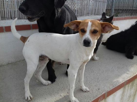 Maxcotea   Foto de Betty - Perro, Raza: Bodeguero Andaluz   Maxcotea, Adopción de mascotas. Adopción de perros. Adopción de gatos.