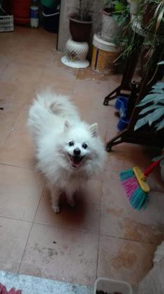 Maxcotea | Foto de Su - Perro, Raza: Pomerania | Maxcotea, Adopción de mascotas. Adopción de perros. Adopción de gatos.