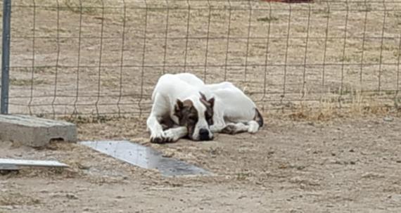 Maxcotea | Foto de PIÑON - Perro, Raza: Mastein | PIÑON | Maxcotea, Adopción de mascotas. Adopción de perros. Adopción de gatos.