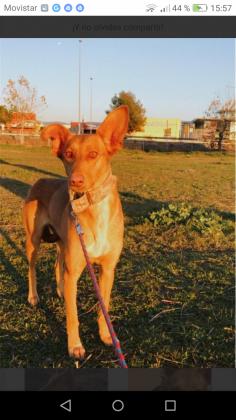 Maxcotea | Foto de LUNA - Perro, Raza: Podenco Ibicenco | Luna. | Maxcotea, Adopción de mascotas. Adopción de perros. Adopción de gatos.