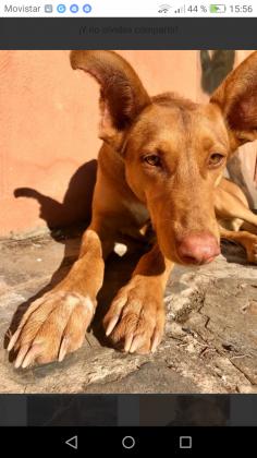 Maxcotea | Foto de LUNA - Perro, Raza: Podenco Ibicenco | Maxcotea, Adopción de mascotas. Adopción de perros. Adopción de gatos.